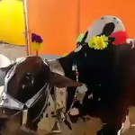 Cow voluntarily Lays Down to be Slaughtered after Being asked by Owner