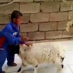 See How Father is Taking Video when a Lamb Kept on Attacking his own Child